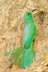Blue-bearded Bee-eater spread her tail in nature