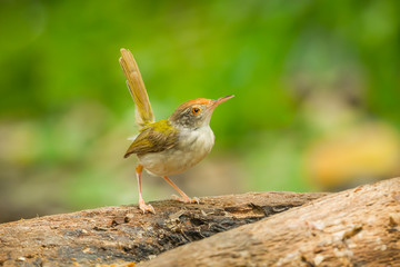 Common Tailorbird (Orthotomus atrogularis) act on the wood
