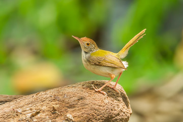 Common Tailorbird act on the wood