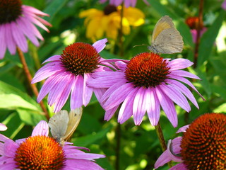Coneflowers with butterflies