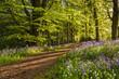 Path through Bluebell Wood - 64983414