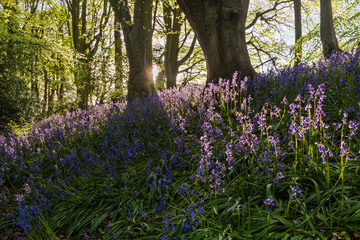 Bluebells backlit