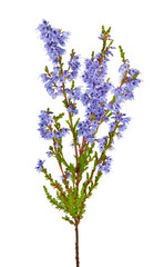 blossoming blue heather branch isolated on white