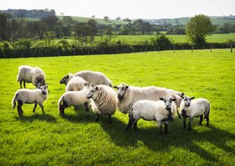 A ram, and flock of sheep. Rural farmland, Devon.