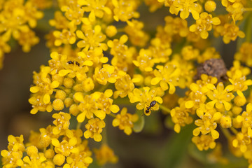 Small ants on yellow wild flowers