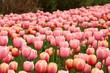 Spring tulips in full bloom, Tulip Festival in Ottawa, Canada