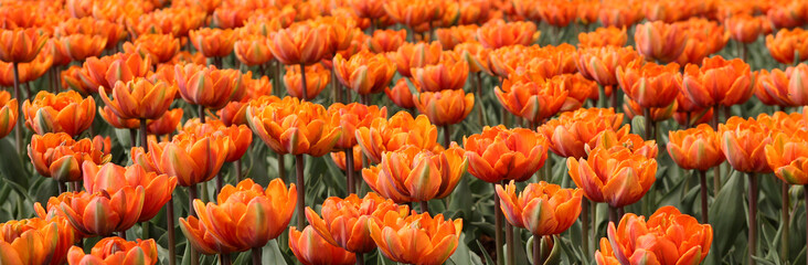 Spring tulips in full bloom, Tulip Festival in Ottawa, Canada