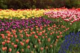 Spring tulips in full bloom, Tulip Festival in Ottawa, Canada - 64988276