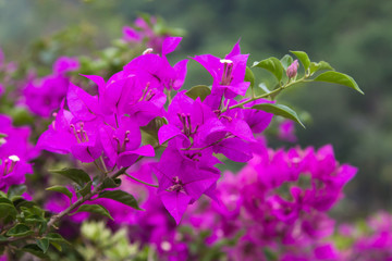 Flowering  Bougainvillea