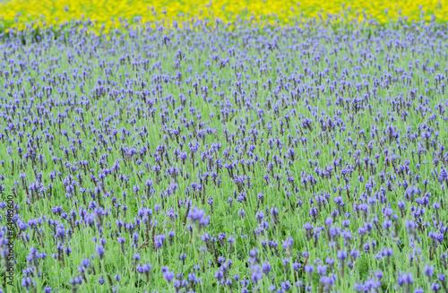 Fototapeta purple salvia flowers
