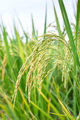 Rice spike in rice field.