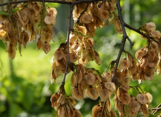 wing-seeds of elm tree