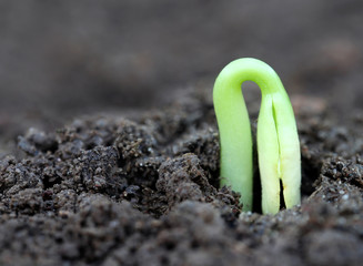 Newly born seedling of green momordica