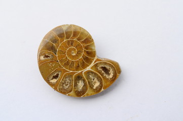 Fossil ammonite or snail