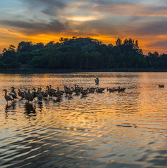Wild ducks and sunset at Putrajaya Wetland, Malaysia