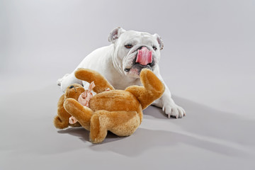 White english bulldog playing with teddy bear. Studio shot again