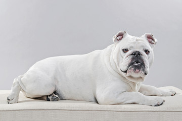 White english bulldog lying on pillow. Studio shot against grey.