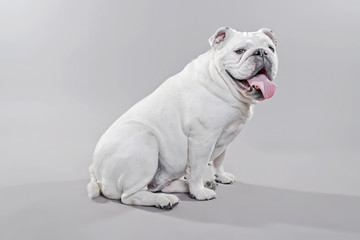 White english bulldog lying on the floor. Studio shot against gr