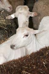 Two Sheared Sheep Amongst Unsheared Sheep