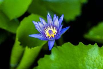 Blue Nymphaea.