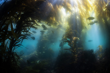 Shallow Kelp Forest