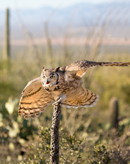 Great-horned Owl Ready to take Flight