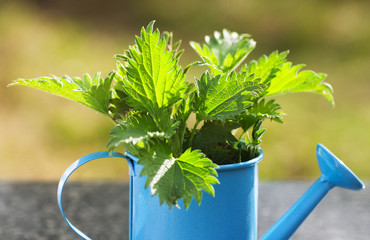 Nettles in a blue watering can on the table