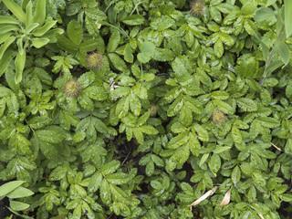 Textura de abrojos. Plantas de alta montaña. Patagonia.