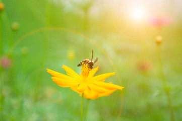 Bee on pollen of yellow flower and sun light