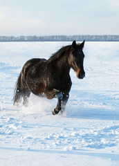 A beautiful darkly-bay horse  trots on deep snow
