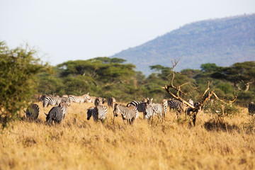 Zebra eating in Africa