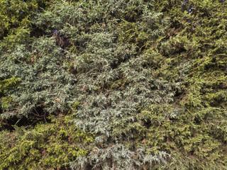 Textura de hojas de arbusto. Ciprés.