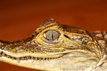 Head of a crocodile, eyes in closeup selective focus