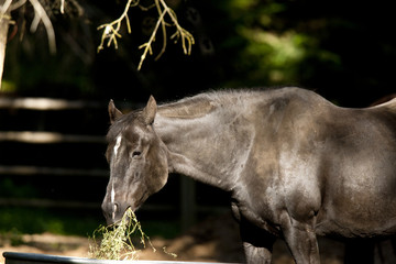 Black horse eating straw.