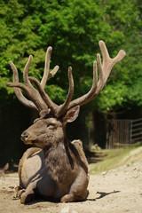 Deer Wapiti Siberian 8