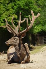 Deer Wapiti Siberian 9