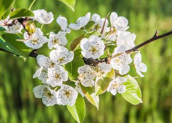 цветение весной8