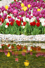 Reflection of tulips in spring garden