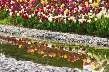Reflection of tulips in spring garden in Emirgan Wood,Istanbul