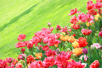 Colorful tulips against green meadow