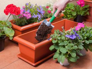 Transplanting plants flowers