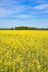 Rapeseed field in May