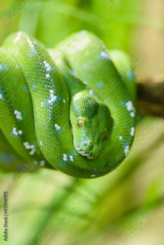 Green snake - 65006095