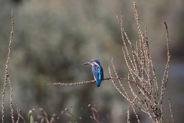 River Douro kingfisher