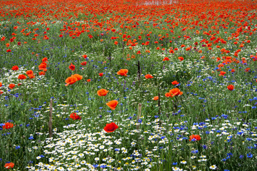 Landscape with poppies and chamomile-13