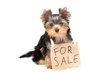Yorkshire Terrier puppy with paper For Sale sign