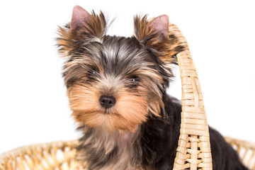 Adorable and cute puppy of yorkshire terrier sitting in basket .