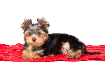 Adorable and cute puppy of yorkshire terrier on red underlay .
