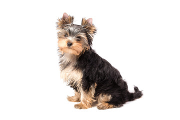 Adorable and cute puppy of yorkshire terrier . Isolated on white