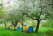 Leinwandbild Motiv colorful beehives in spring orchard